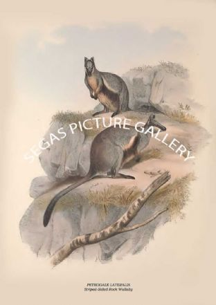 PETROGALE LATERALIS - Striped-Sided Rock Wallaby